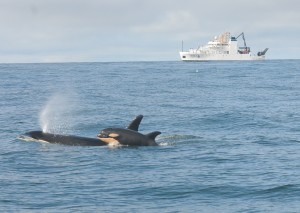 New calf L121 and mother L94, with NOAA research ship Bell M. Shimada in the background. Photo by Candice Emmons, NWFSC, NOAA Research Permit #16163)